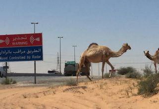 Fatal Collision In Ras Al Khaimah As SUV Hits A Camel